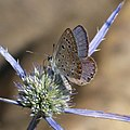 Common Blue. Polyommatus icarus f. celina. male. - Flickr - gailhampshire (1).jpg
