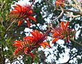 Common Coral Tree Flowers, Erythrina lysistemon, Fabaceae - Flickr - gailhampshire.jpg