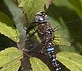 Common Hawker Dragonfly Head (3900007867).jpg