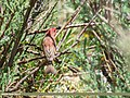 Common Rosefinch (Carpodacus erythrinus) (36385407035).jpg
