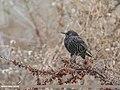 Common Starling (Sturnus vulgaris) (39945643913).jpg