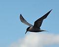 Common Tern, Rutland Water (9541180672).jpg