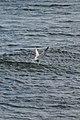 Common Tern (Sterna hirundo) - Witless Bay, Newfoundland 2019-08-12 (03).jpg