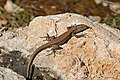 Common Wall Lizard (Podarcis muralis) (25997590286).jpg