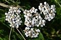 Common Yarrow (Achillea millefolium) - Oslo, Norway 2020-08-12 (01).jpg