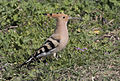 Common hoopoe - Upupa epops 01.jpg