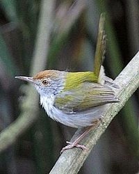 Common tailor-bird (Orthotomus sutorius inexpectatus) - Flickr - Lip Kee.jpg