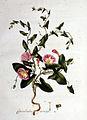 Convulvulus arvensis — Flora Batava — Volume v1.jpg