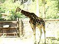Cool Giraffe.jpg
