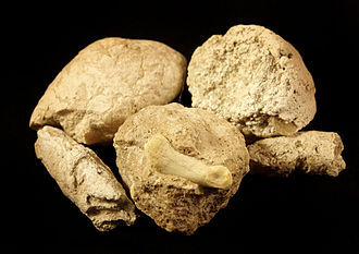 Coprolite - Age: White River Oligocene; Location: Northwest Nebraska; Dimensions: Varies (25 mm X 20 mm); Weight: 8-10 g; Features: Many small inclusions and one has a complete toe bone from a small deer called a leptomeryx.