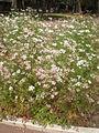 Coriandrum sativum 1c.JPG