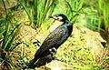 Cormorant at The Hawk Conservancy - geograph.org.uk - 743230.jpg