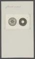 Coronula radiata - - Print - Iconographia Zoologica - Special Collections University of Amsterdam - UBAINV0274 101 02 0036.tif