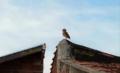Coruja-buraqueira esperando o anoitecer.png