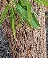 Corymbia polycarpa - trunk bark.jpg