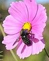 Cosmos bipinnatus (3).jpg