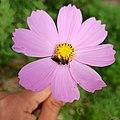 Cosmos bipinnatus (Asteraceae) with an Andrena sp. bee.jpg