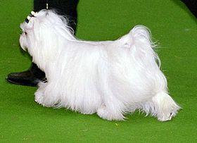 Fluffy Non Shedding Dog Breeds
