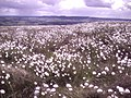 Cotton grass on Hazeltonrig Hill - geograph.org.uk - 1004760.jpg