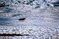Coyote033 (26841416832).jpg