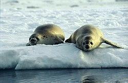 Crabeater Seals (js).jpg