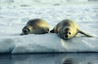 Crabeater seal - Image: Crabeater Seals (js)