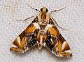 Crambid Moth (Petrophila ? sp.) (27097284428).jpg