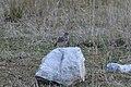 Crested lark at Mali lag, Botevgrad 02.jpg