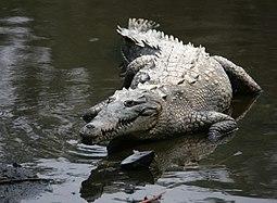 Krokodýl americký v Manzanille, Jalisco, Mexiko.