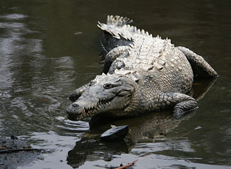 Sun Belt - American crocodile, a vulnerable species only found in southernmost Florida