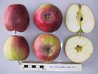 Cross section of Bec d'Oie (Cher), National Fruit Collection (acc. 1948-774).jpg
