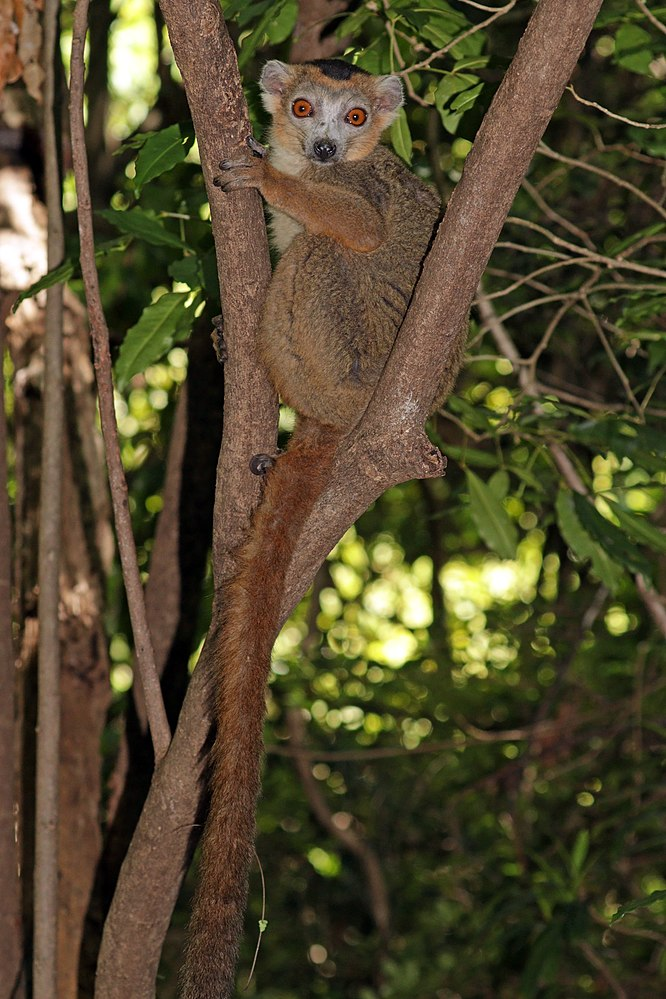 The average litter size of a Crowned lemur is 1