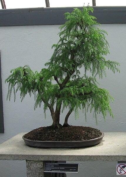 Cryptomeria japonica bonsai
