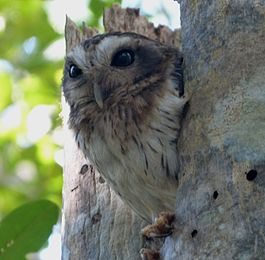 Cuban Screech-Owl. Otus lawrencii. Endemic - Flickr - gailhampshire (1).jpg