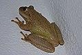Cuban Tree Frog (Osteopilus septentrionalis) (8575065464).jpg