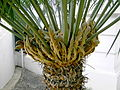 Cycad with seed cones.jpg