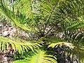 Cycas circinalis-BSI-yercaud-salem-India.JPG