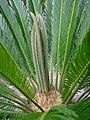 Cycas revoluta1378.JPG