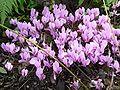 Cyclamen hederifolium 410.JPG