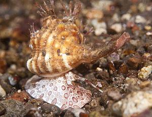 Ranellidae - Anterior view of a live triton in the genus Cymatium, in situ