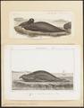 Cystophora proboscidea - 1700-1880 - Print - Iconographia Zoologica - Special Collections University of Amsterdam - UBA01 IZ21100131.tif