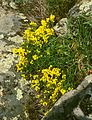 Cytisus procumbens 3.jpg