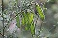 Cytisus scoparius-Cosse de genêt à balais-20180529.jpg