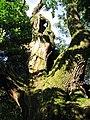 Dąb w Chocimiu (Park Krajobrazowy Góry Opawskie) 05.jpg