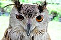 D85 1793Siberian Eagle Owl Photographed by Trisorn Triboon.jpg