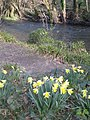 Daffodils by the River Lynher - geograph.org.uk - 1205451.jpg