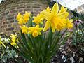 Daffodils on St. David's day (12867469573).jpg