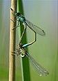 Damiselas sex 02 - cavallets del dimoni -Blue-tailed Damselflies (2465186567).jpg