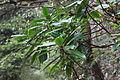 Daphniphyllum macropodum - Mount Sanqing 2015.09.08 12-01-16.jpg