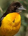 Dark-backed weaver, Ploceus bicolor, also known as the forest weaver at Ndumo Nature Reserve, KwaZulu-Natal, South Africa (28841134431).jpg